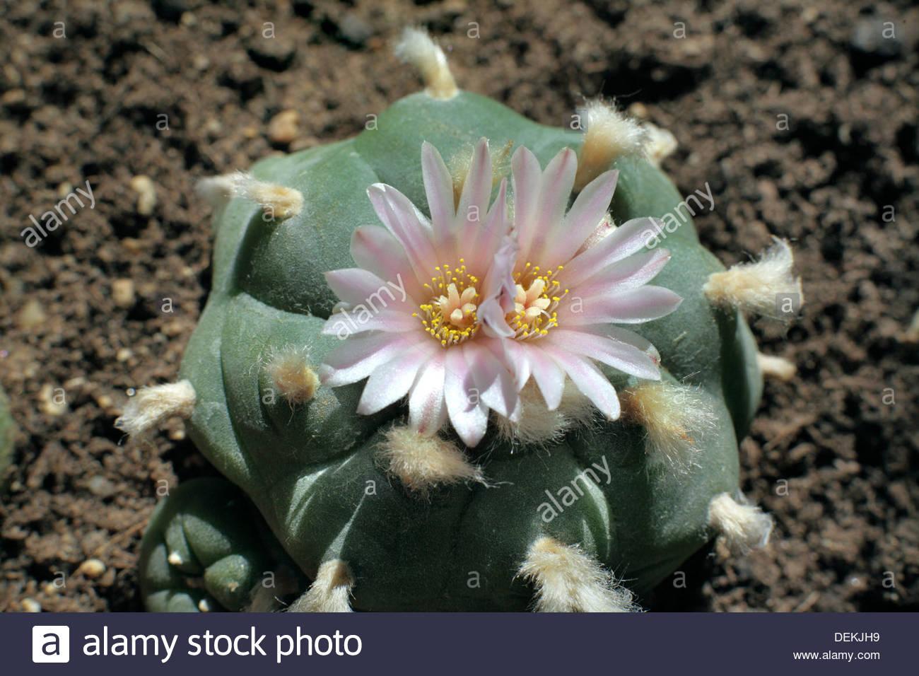 Peyote Cactus Stock Photos Peyote Cactus Stock Images   Alamy 1300x956