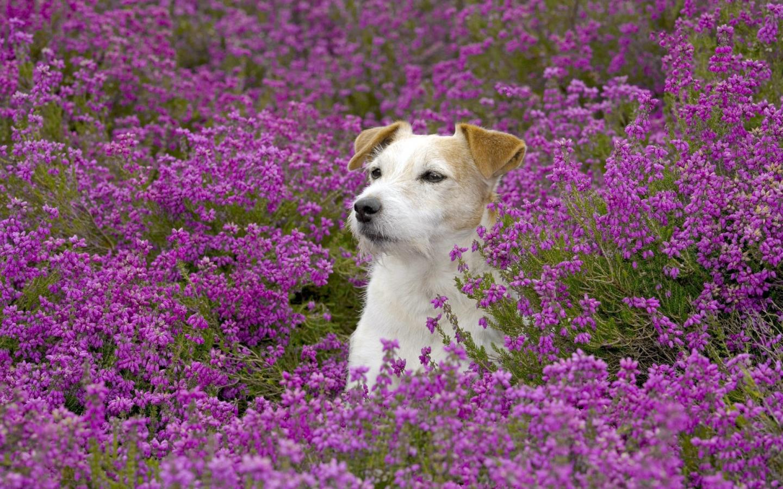 Windows7 Desktop Wallpaper Download Dog Beautiful 1440x900
