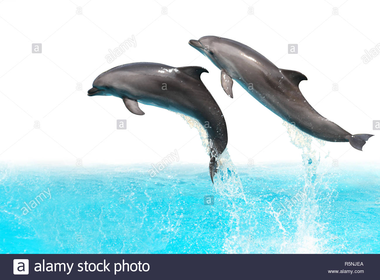 Two dolphins are jumping out of the water isolated on white 1300x956