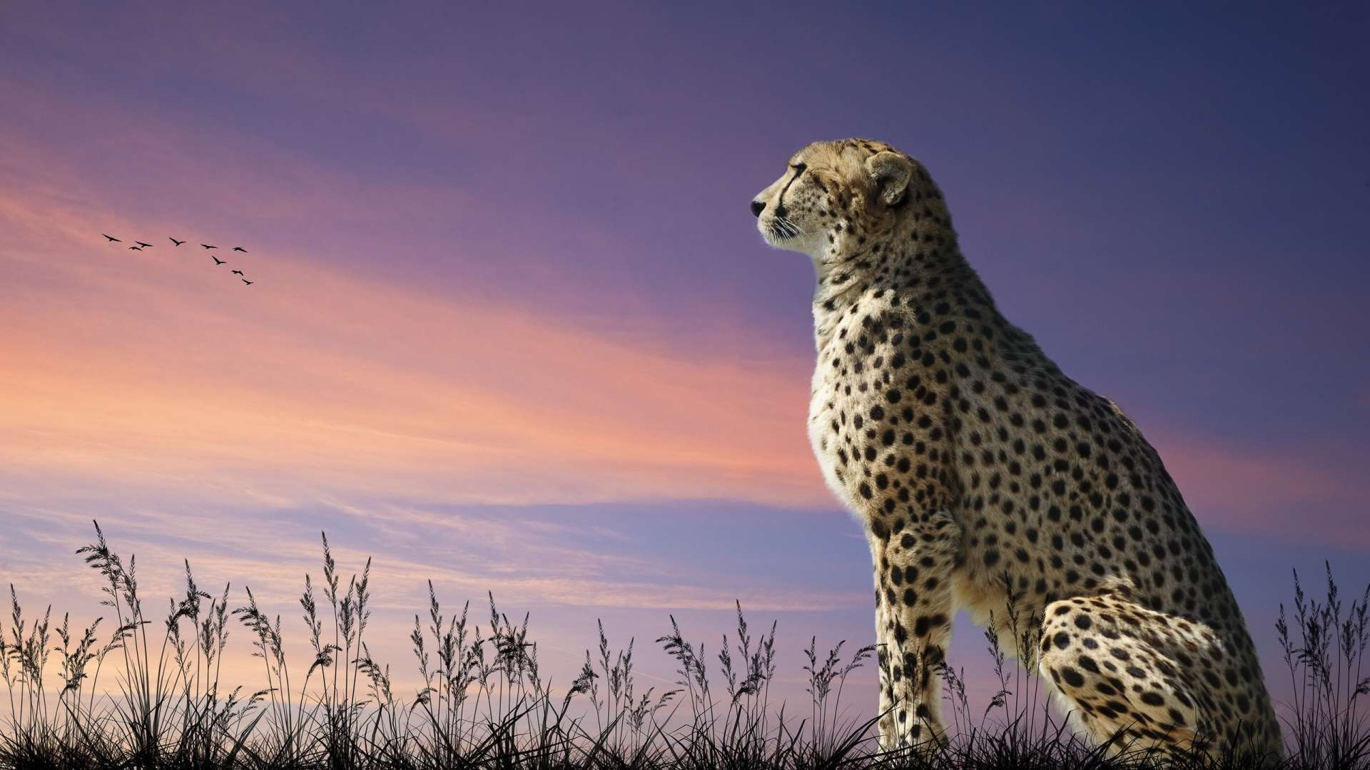 10 Latest Cool Wallpapers Of Animals Full Hd 1080p For Pc: HD Cheetah Wallpaper