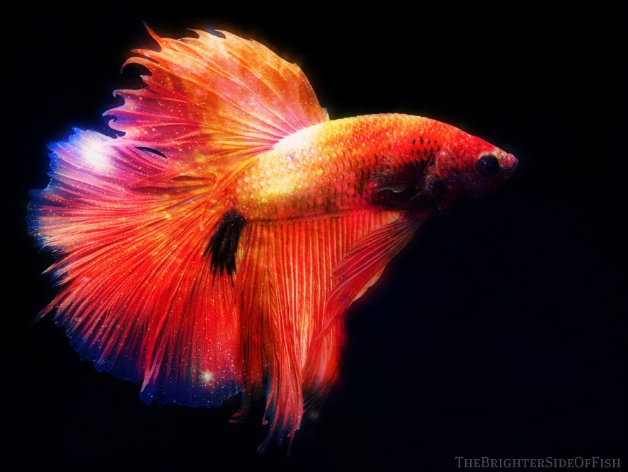 Betta Fish Background 887x667