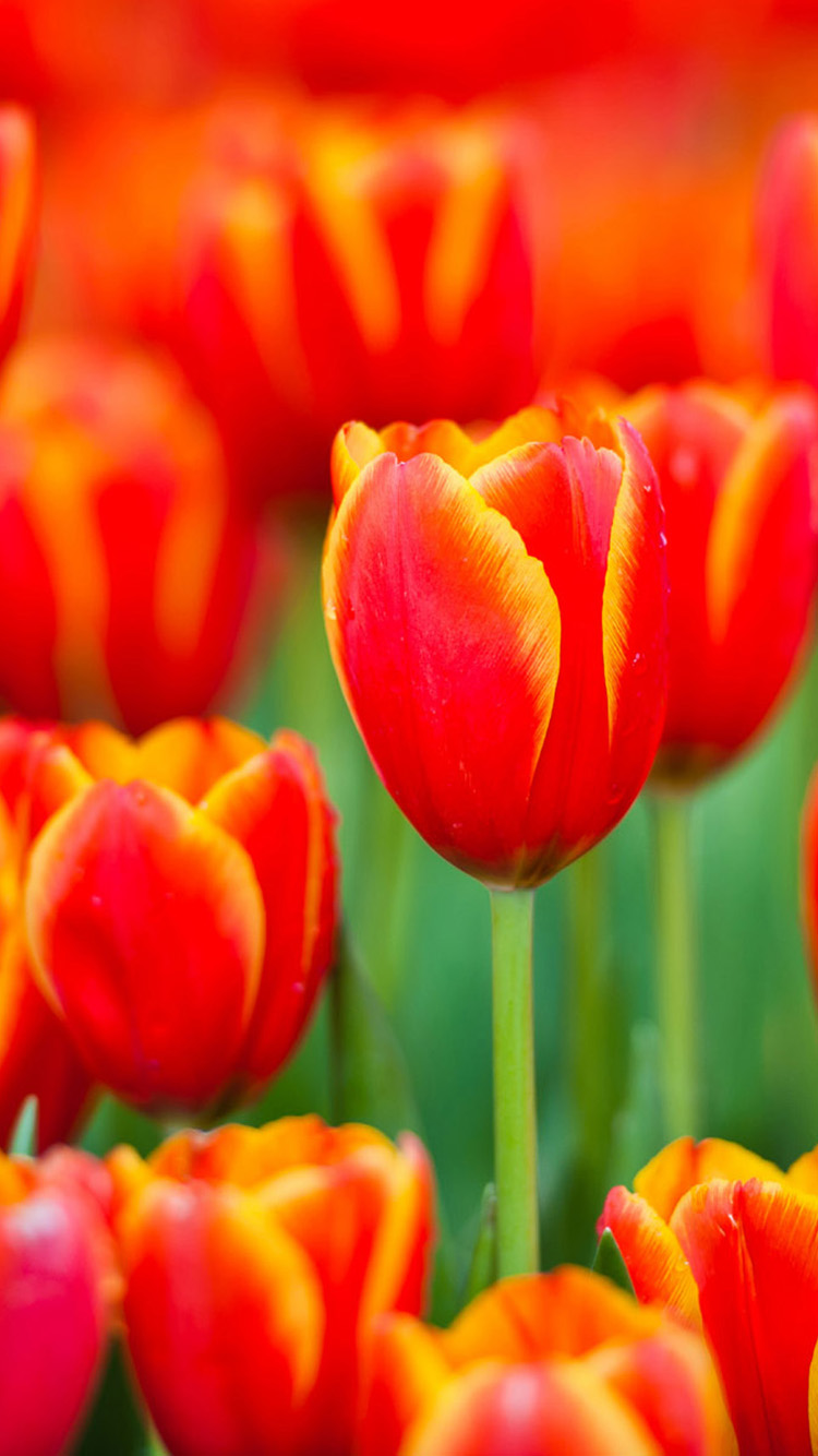 Beautiful tulips iPhone 6 Wallpapers HD Wallpapers For iPhone 6 750x1334