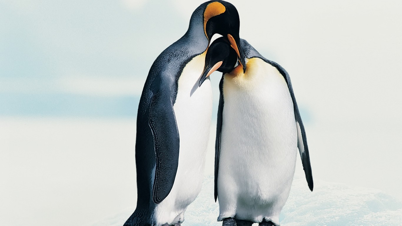 Penguins in love   Animal couple wallpaper 1366x768