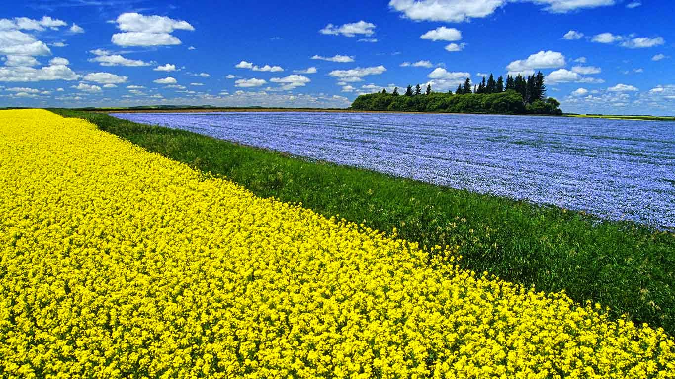 Flowering canola field with flax in the background and a sky filled 1366x768