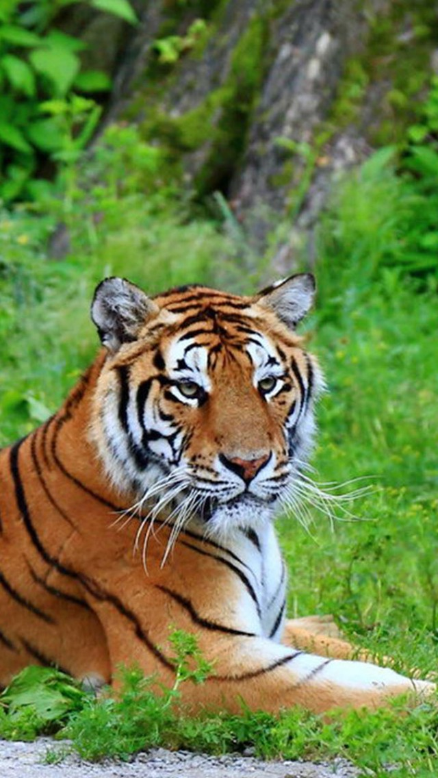 Free Download Siberian Tiger Iphone Wallpapers Iphone 5s4s3g