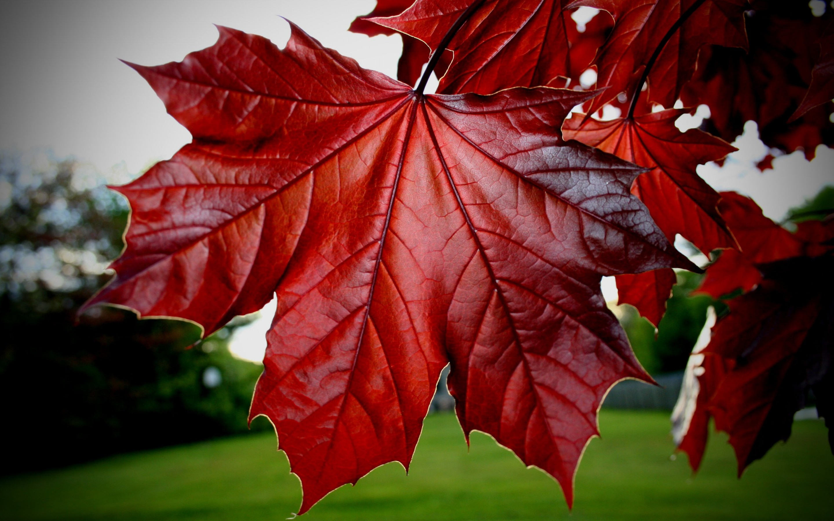 Red Maple Leaf HD Wallpapers 2880x1800