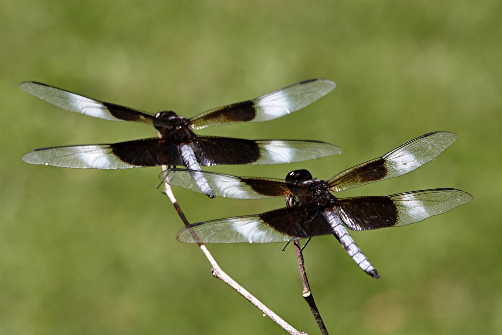 Black and White Dragonfly Wallpapers All About Dragon World   Dragon 1024x683