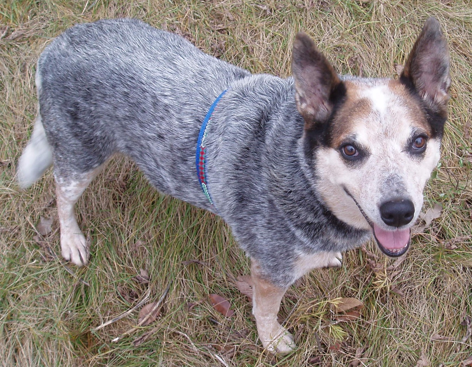 blue heeler Wallpaper and Background Image 1617x1256 ID453430 1617x1256