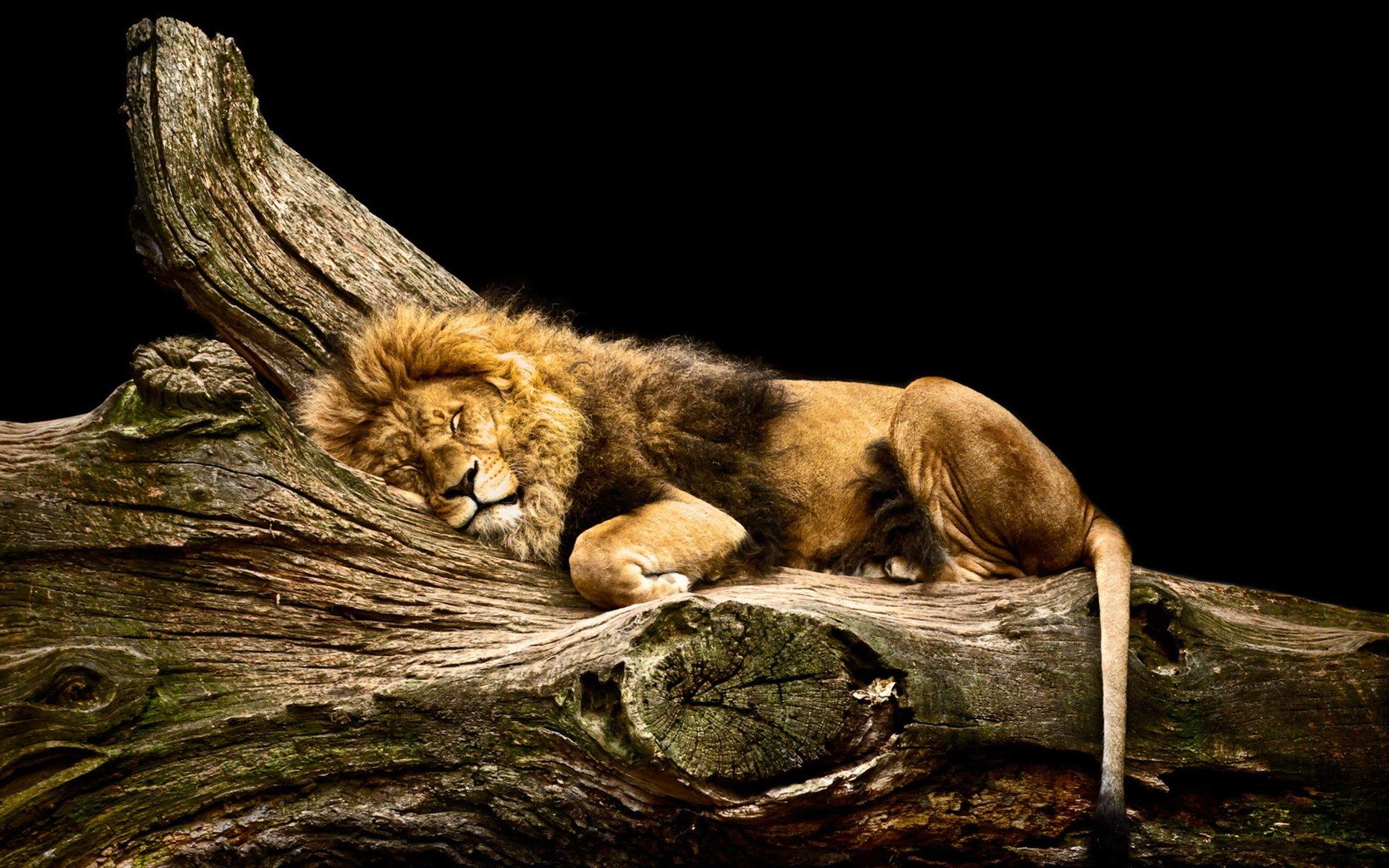 Sleeping Lion HD Wallpaper Background Image 1920x1200 ID 1920x1200
