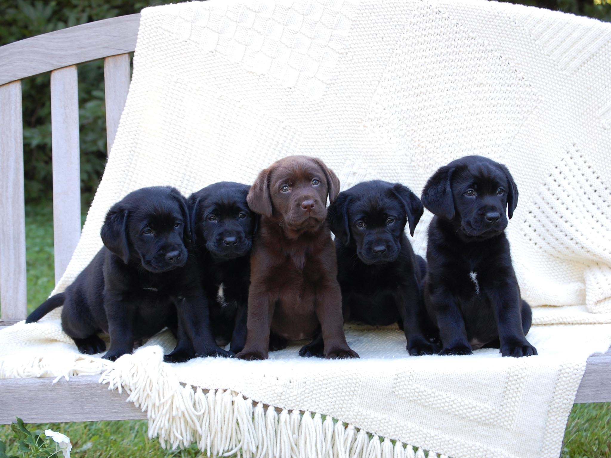 Black Lab Puppy Wallpapers 2048x1536
