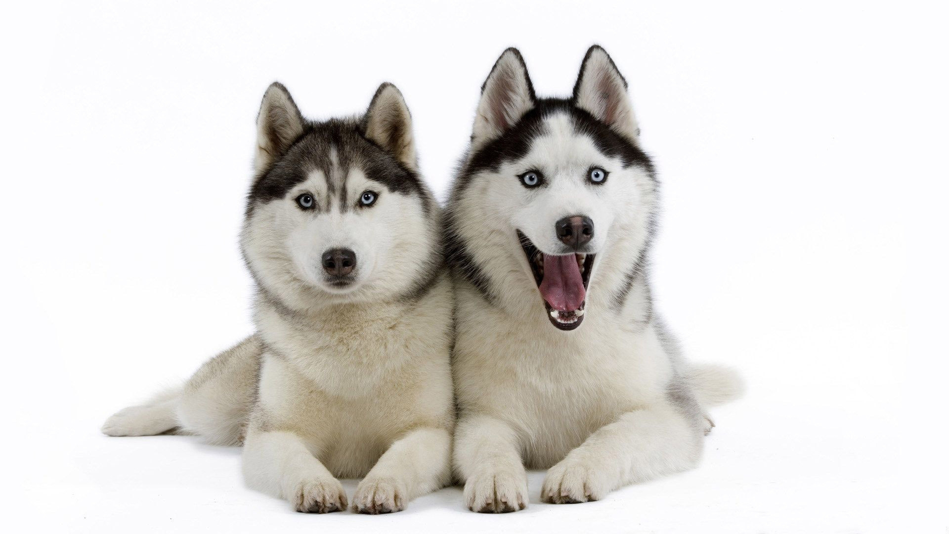 Siberian Huskies   Doge Wallpaper 1920x1080 59509 1920x1080