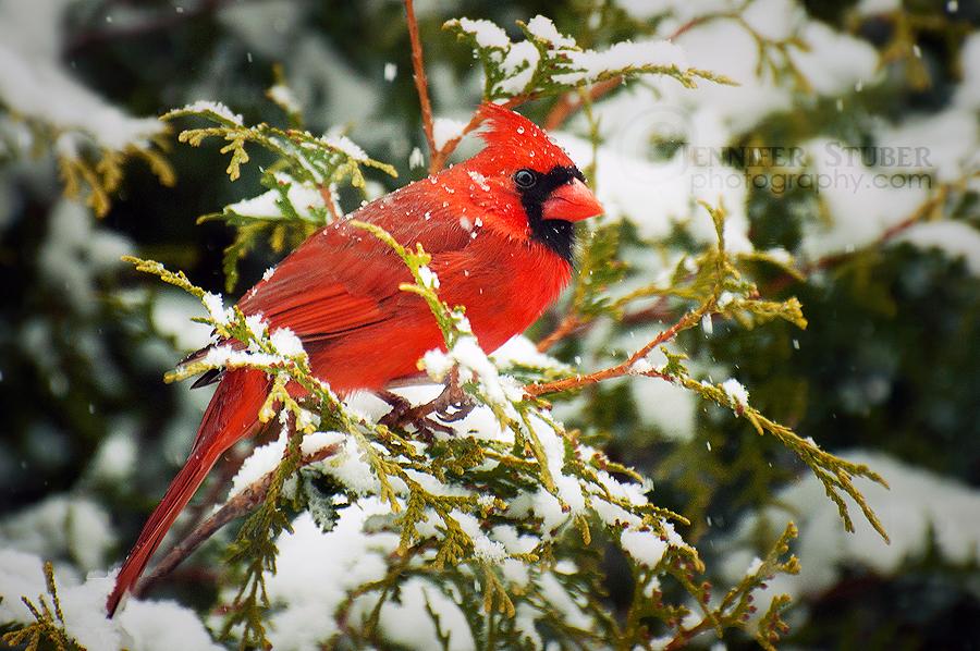 cardinal winter computer wallpaper - photo #14