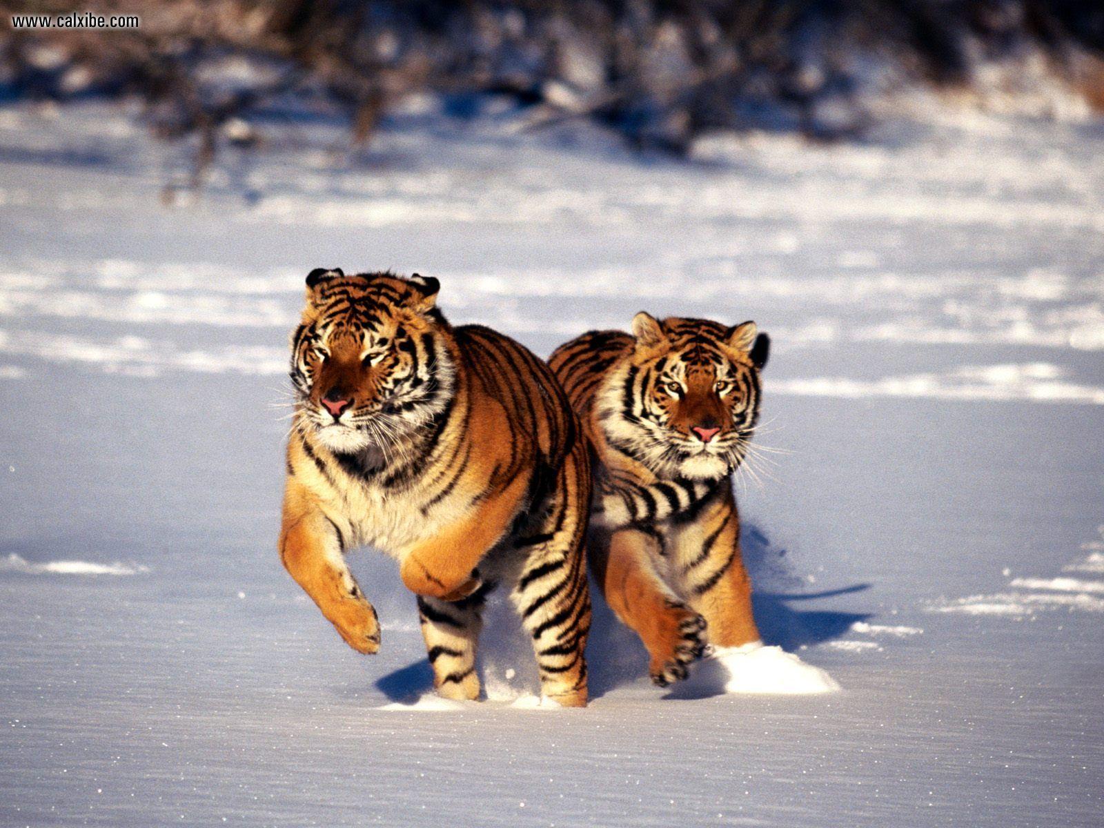Siberian Tiger Full Screen Apple Wallpaper Tiger 1016 high quality 1600x1200
