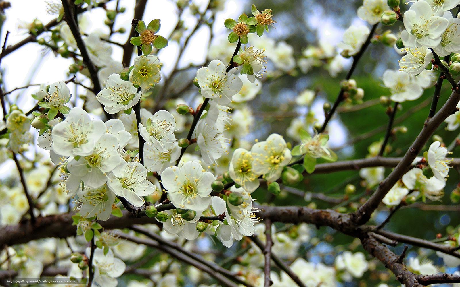 wallpaper flowering fruit tree branch desktop wallpaper 1600x1000