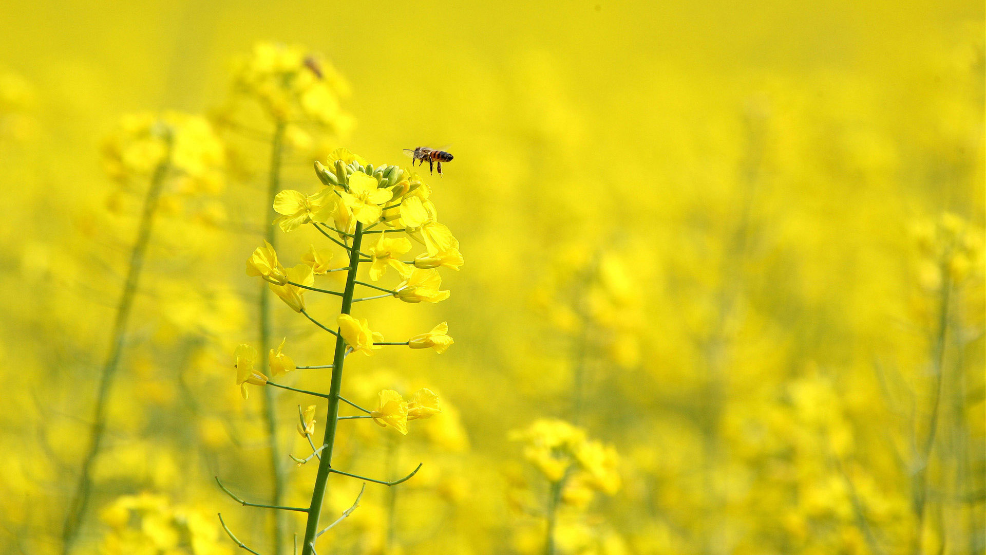 Complete Yellow Flowers Wallpapers HD Wallpapers 1920x1080