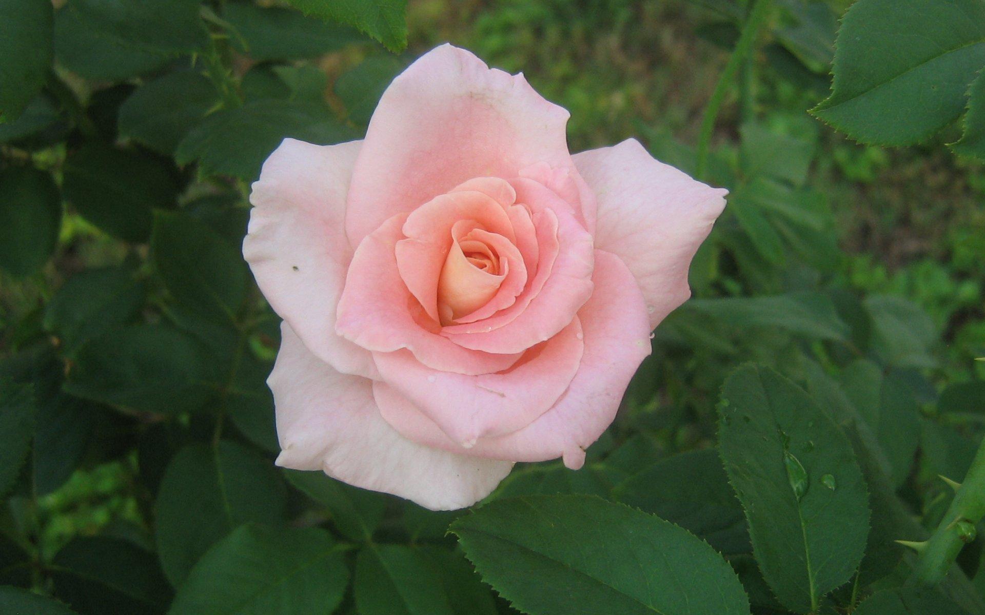 Widescreen Pink Roses Rose Full HD desktop wallpaper Wallinda 1920x1200