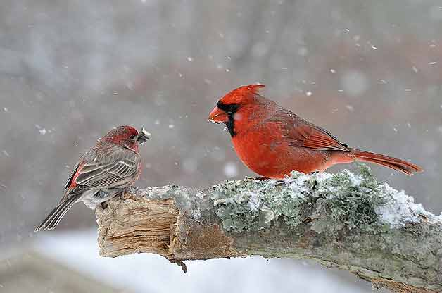Birds and blooms winter wallpaper wallpapersafari - Winter cardinal wallpaper ...