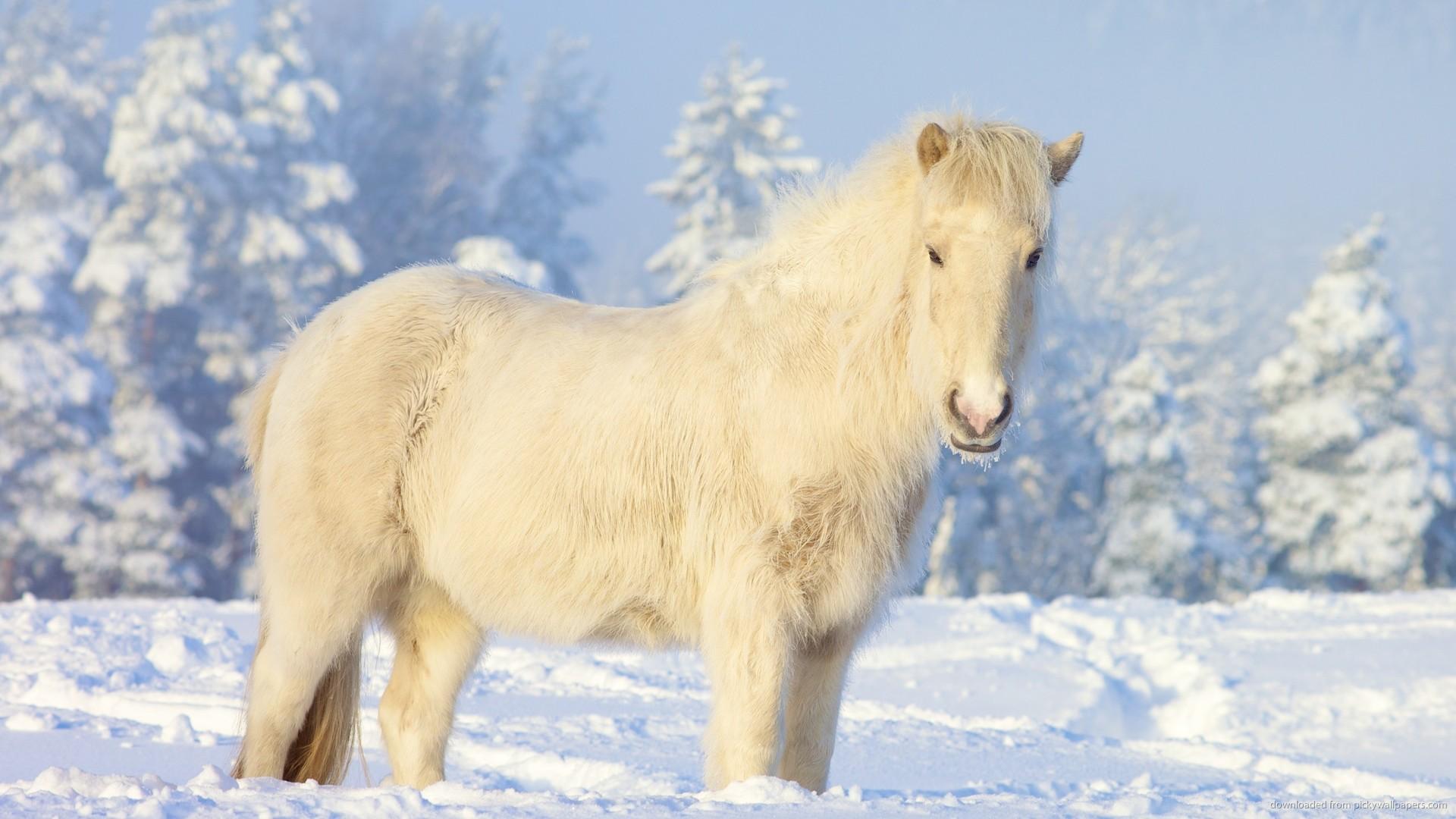 Yakutian Horse Picture For iPhone Blackberry iPad Yakutian Horse 1920x1080