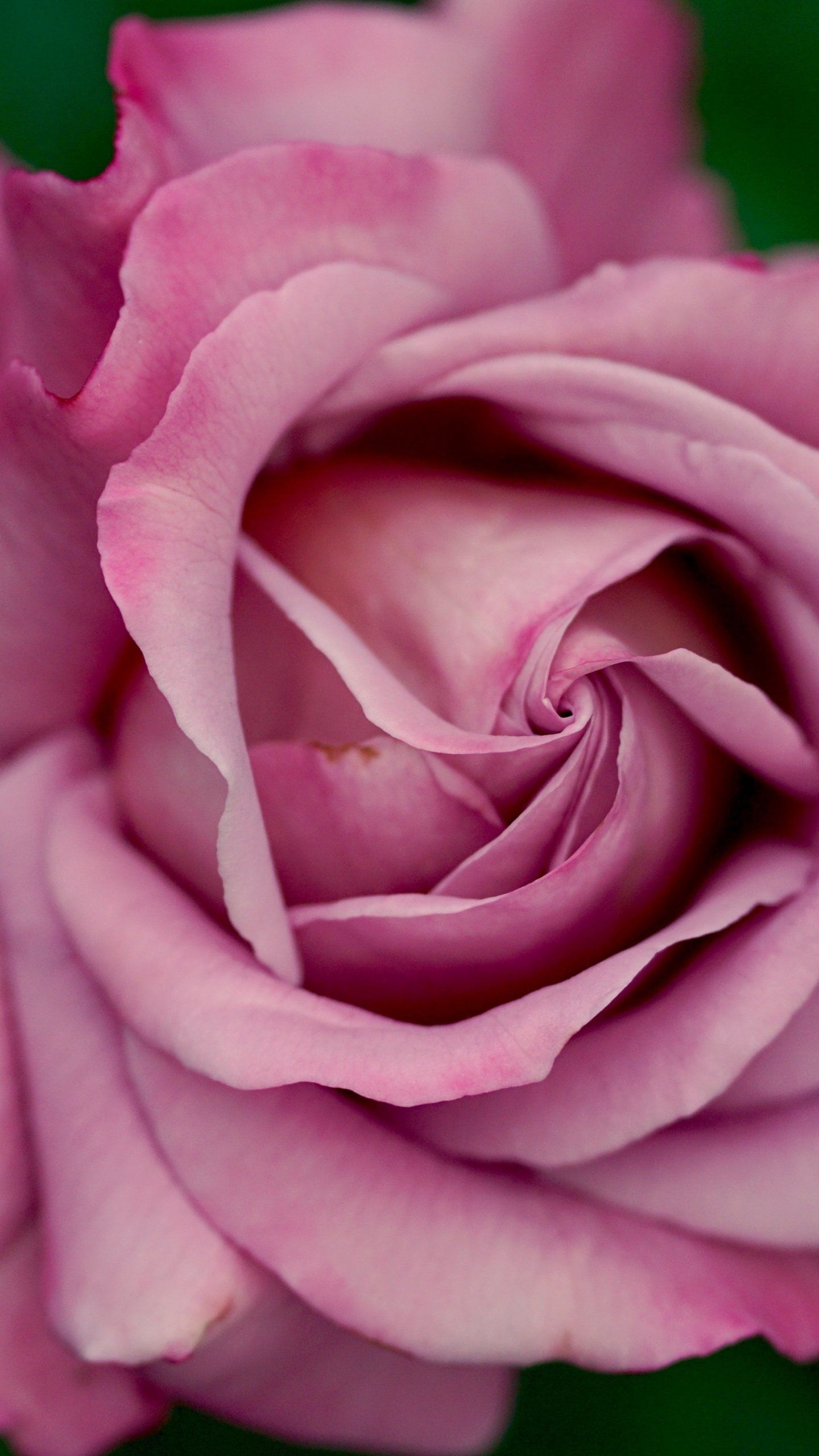 Free download Dusty Pink Rose Wallpaper iPhone Android ...