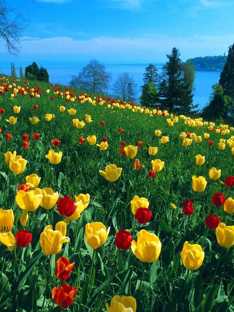 Field Of Tulips Wallpaper Wallpapersafari