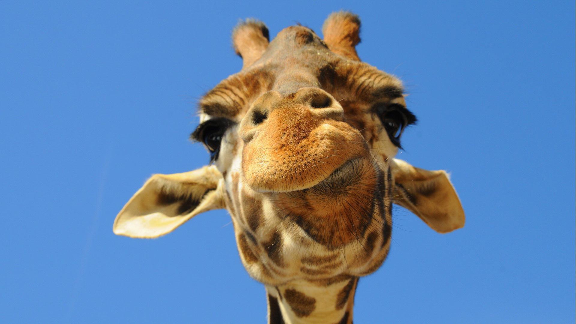 Жираф испугался  № 3895569 без смс