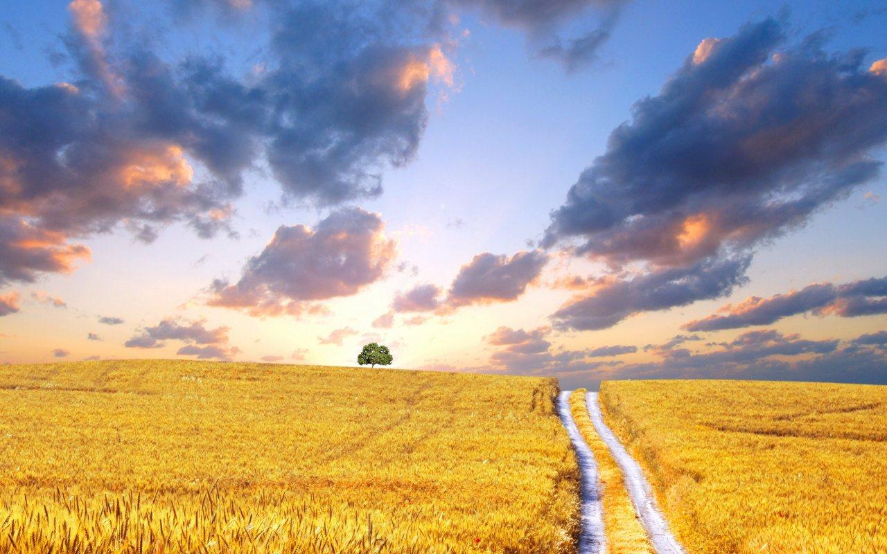 Description Yellow Corn Field is a hi res Wallpaper for pc desktops 1280x800