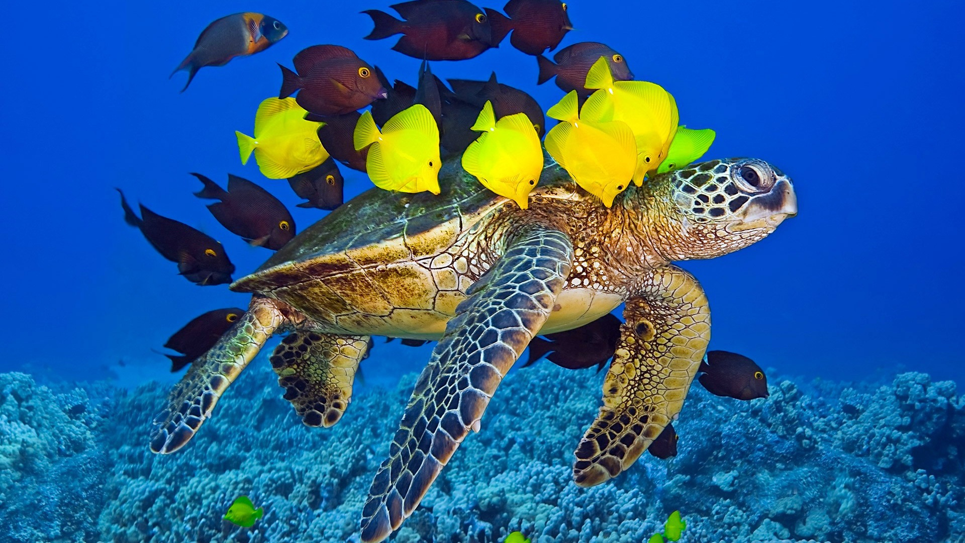 Sea turtle ocean underwater yellow and brown fish Wallpaper Desktop 1920x1080