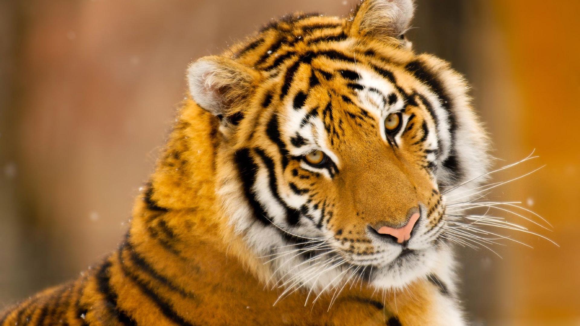 Cute Tiger Image 15047 Wallpaper High Resolution 1920x1080