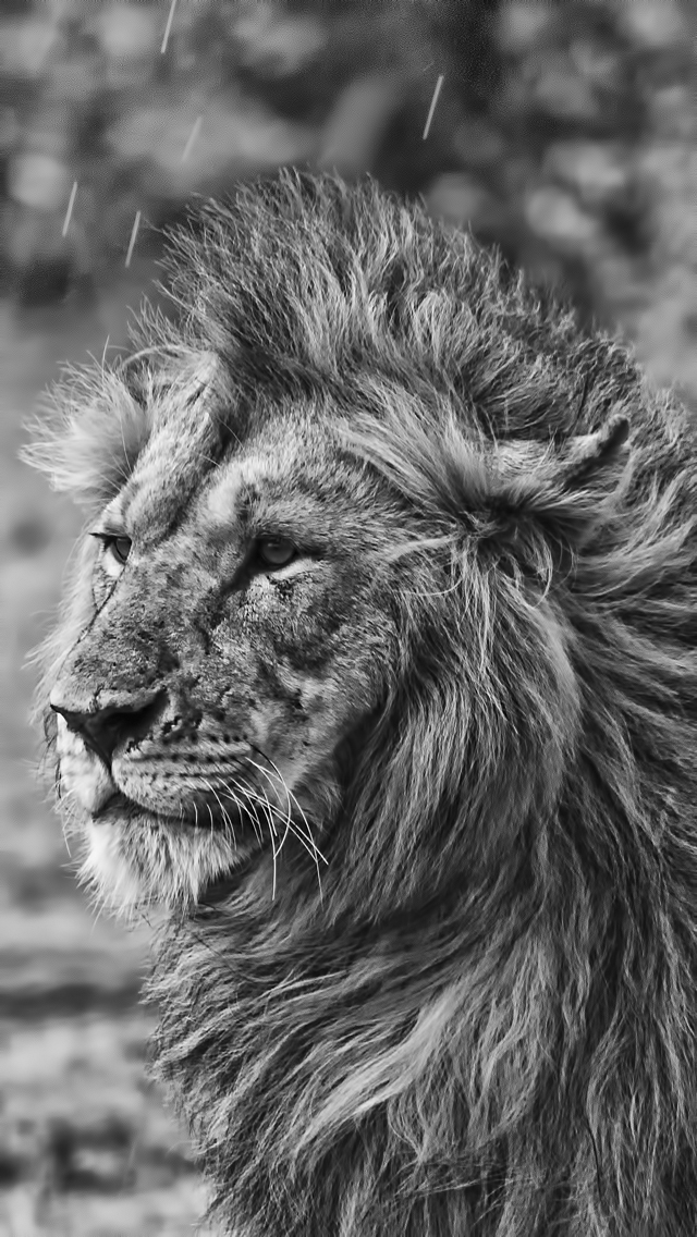 Images Of Lion Roar Iphone 5 Wallpaper