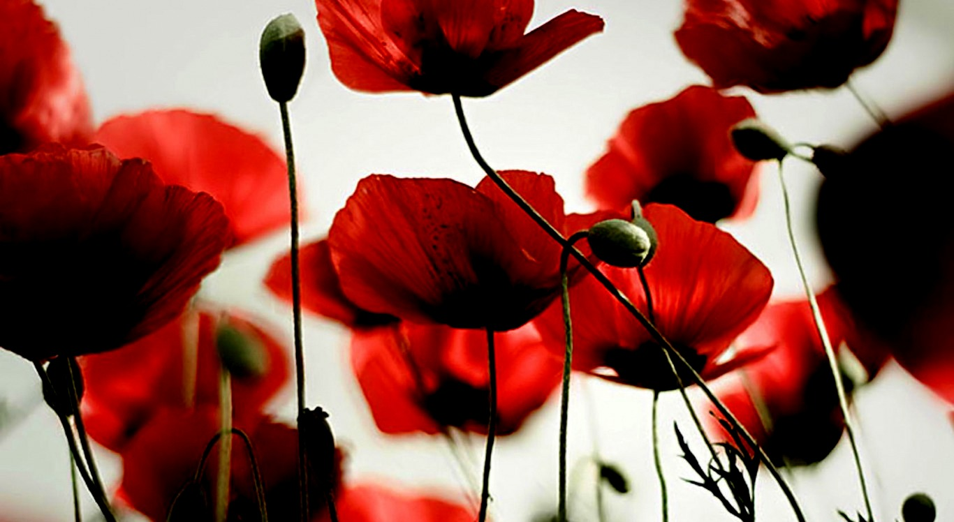 Poppy wallpaper Flower wallpapers