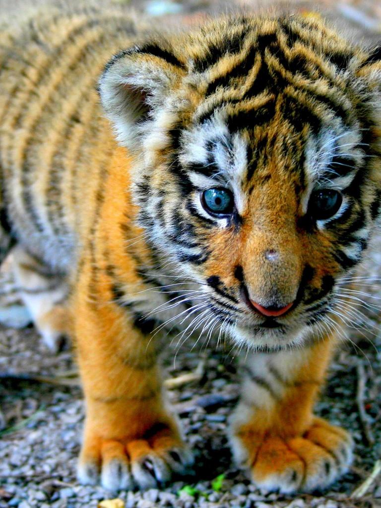 768x1024 Cute Tiger Cub Ipad wallpaper 768x1024