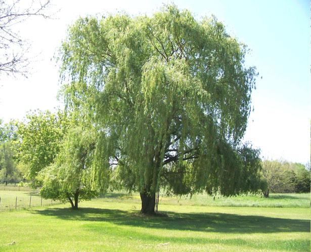 Weeping Willow Stock Photo   Public Domain Pictures 615x497