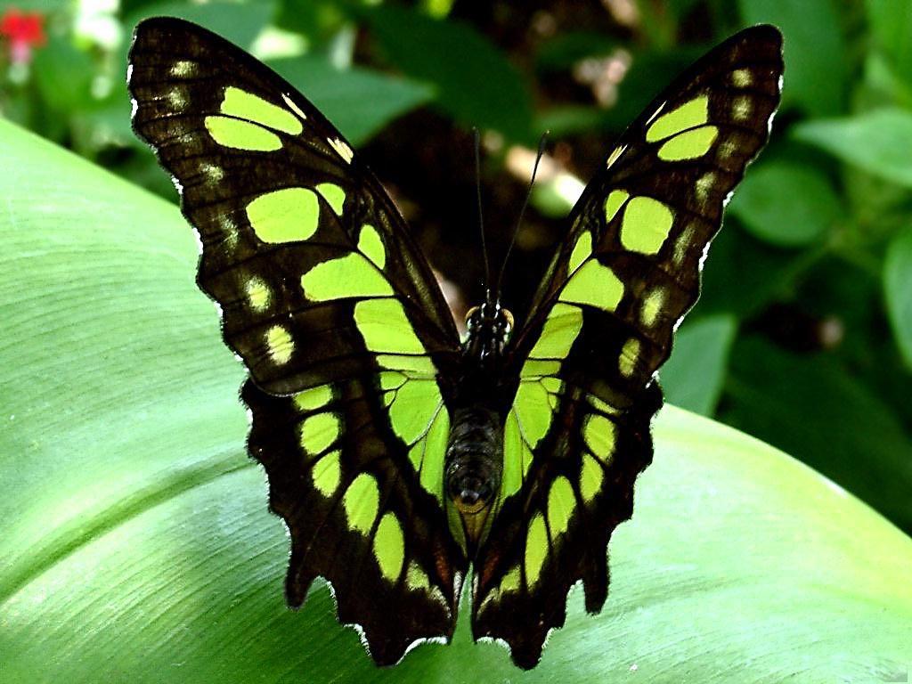 GREEN BUTTERFLY 1024x768