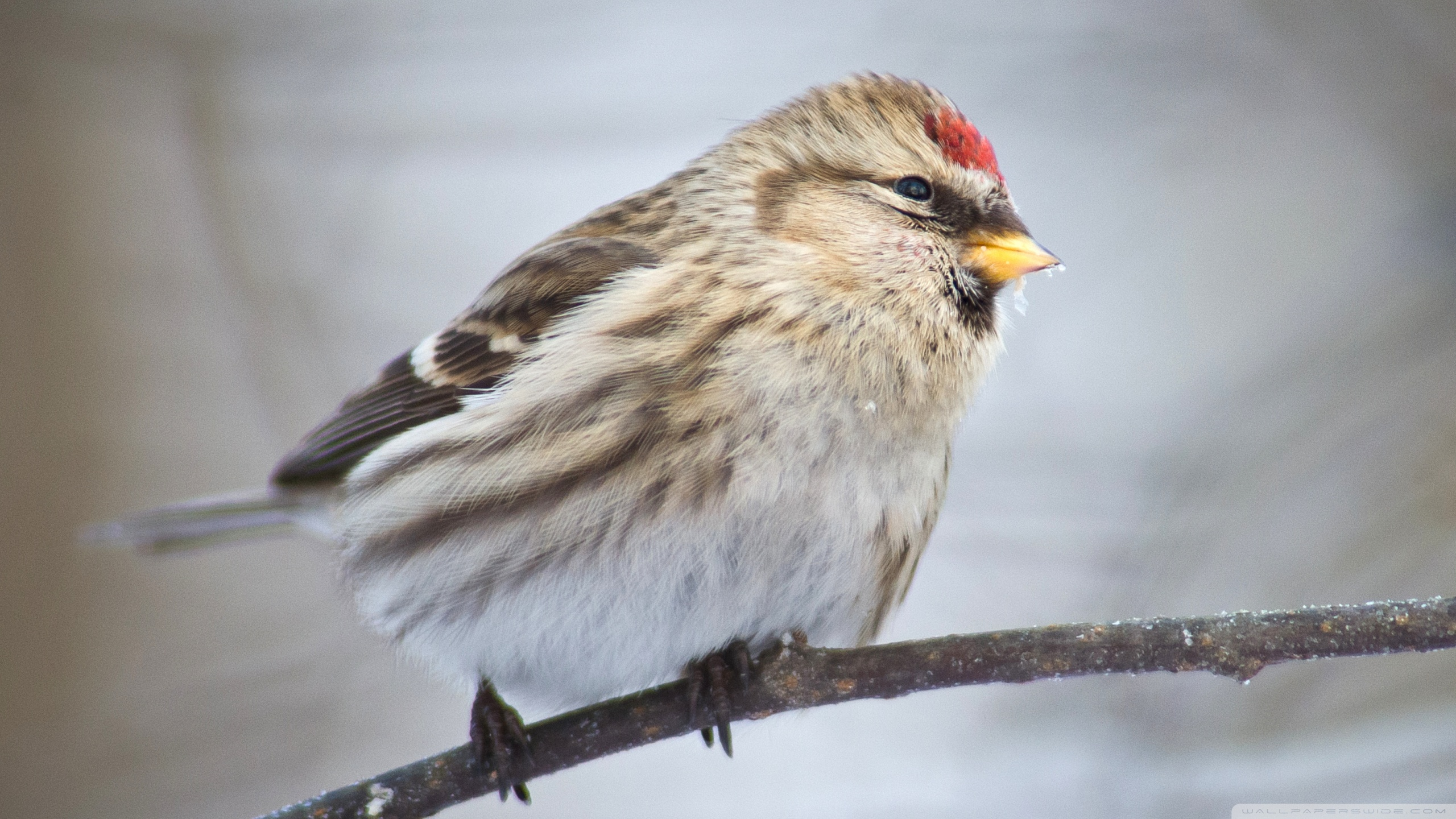 Common Redpoll HD Wallpaper Background Image 2560x1440 ID 2560x1440