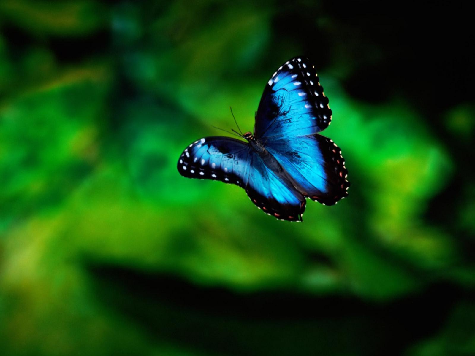 Blue Butterfly HD Wallpaper Animals Wallpapers 1600x1200