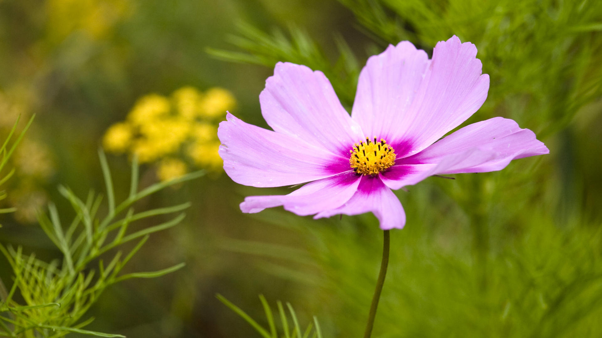 HD Wallpapers 1080p Purple Cosmos Flower 1920x1080