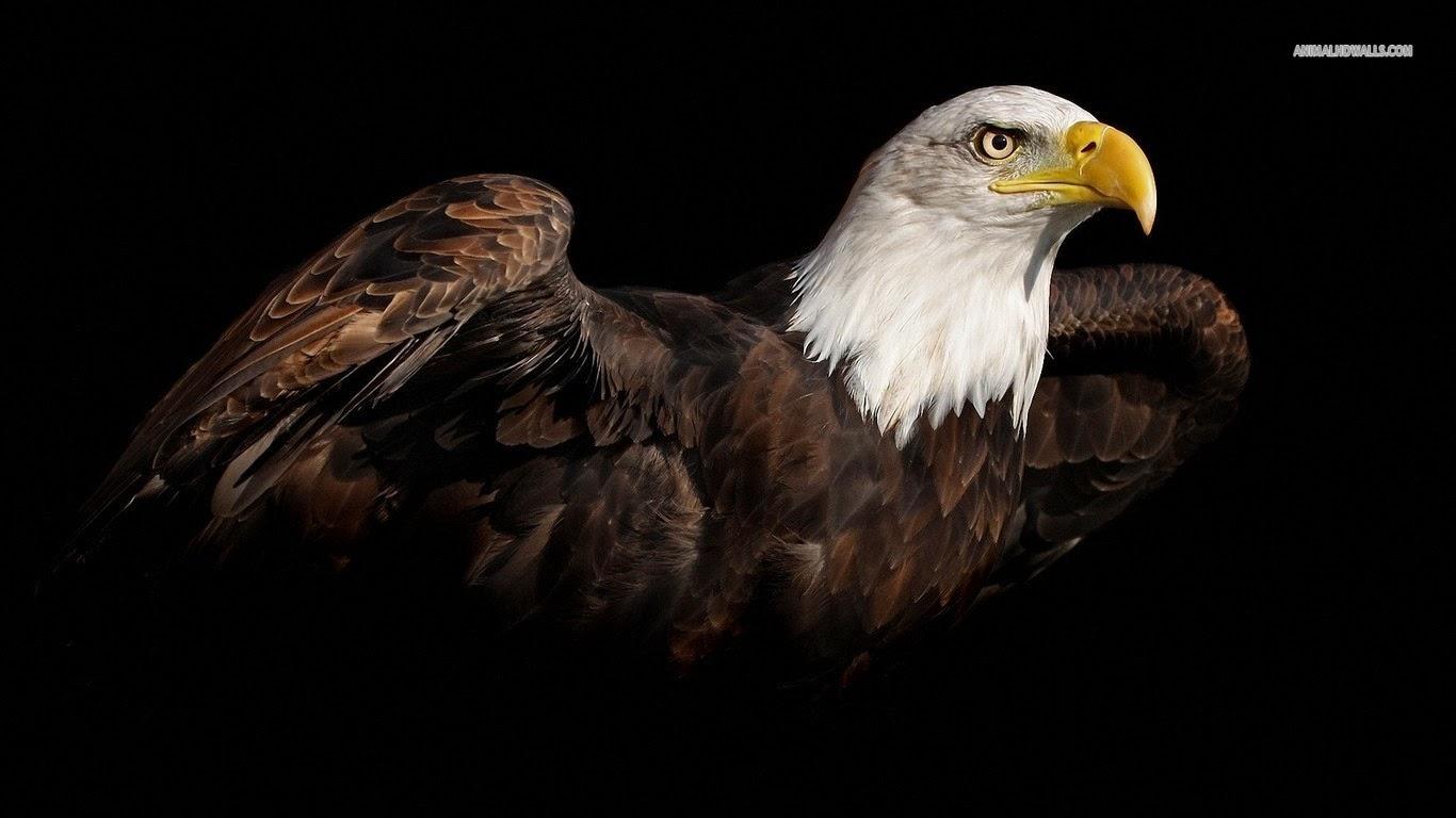 Wallpapers 4 u Download 3D Flying Bald Eagle HD Wallpaper 1366x768