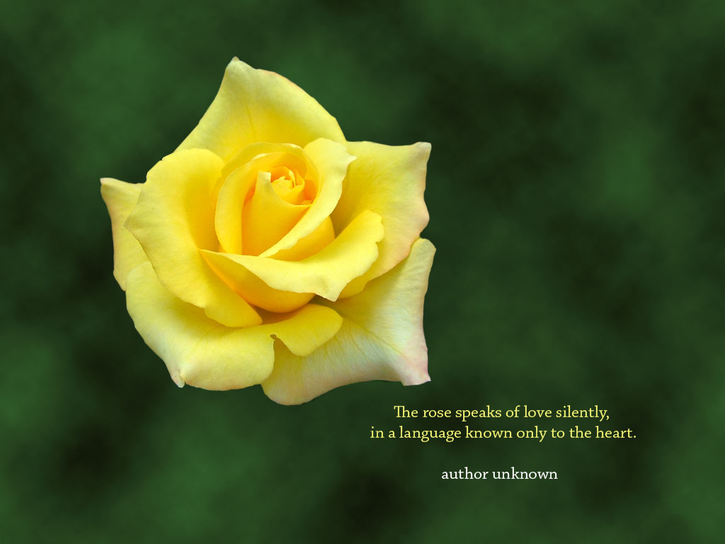 Yellow rose flower desktop wallpaper with an inspirational rose quote 1024x768