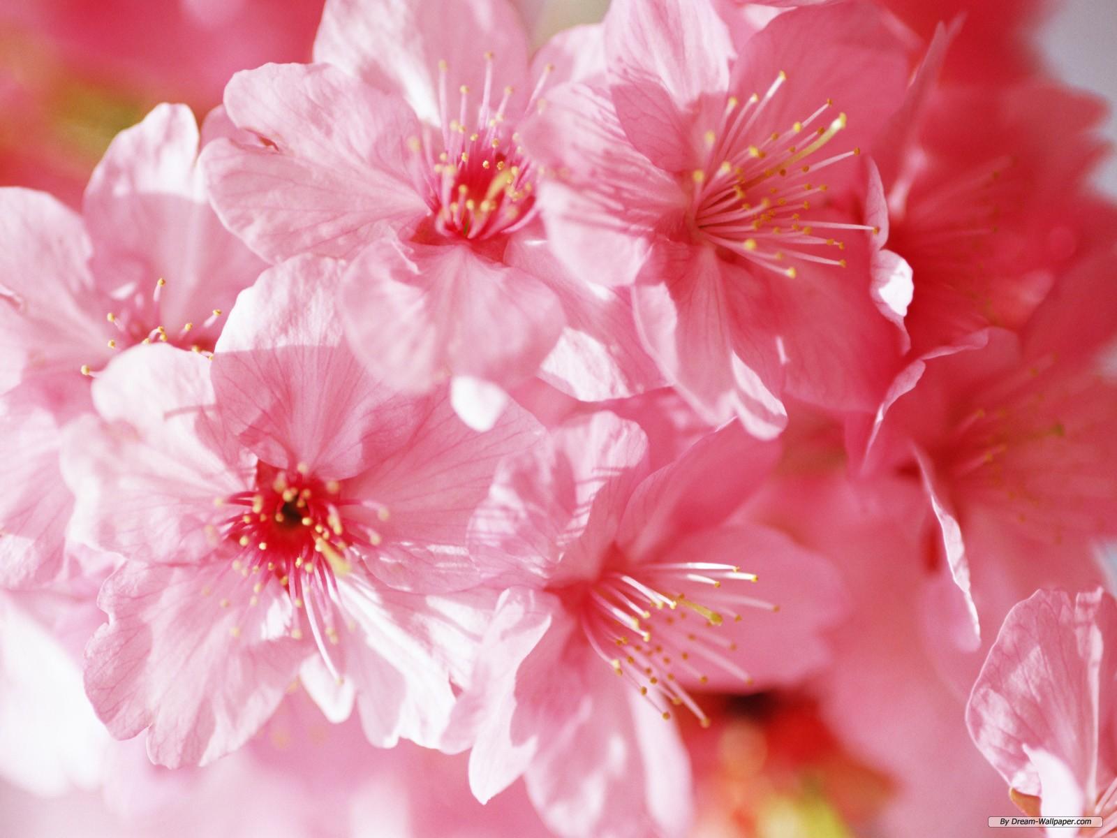 wallpaper flowers free download - wallpapersafari