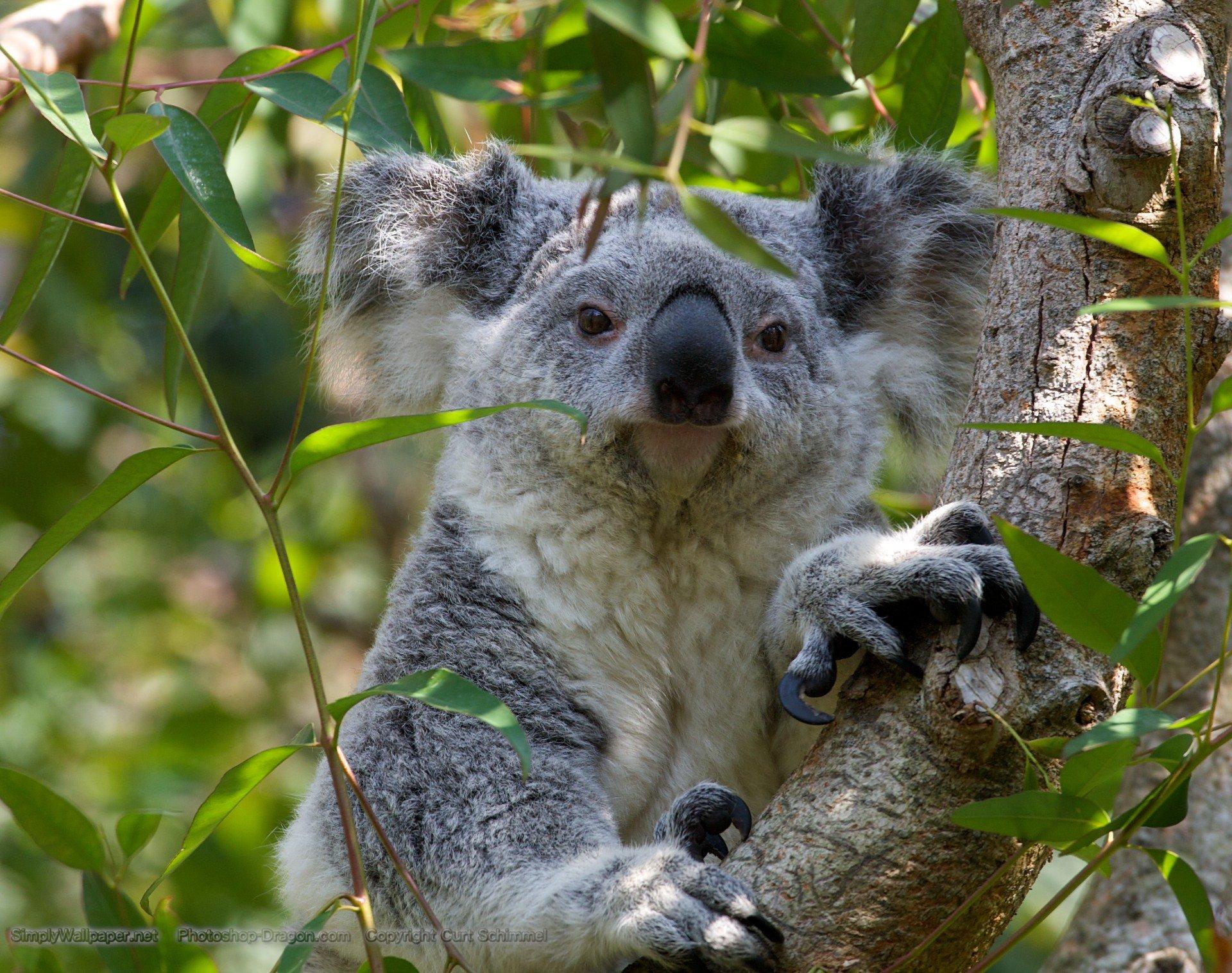 Koala Bear wallpaper   Click picture for high resolution HD wallpaper 1920x1517