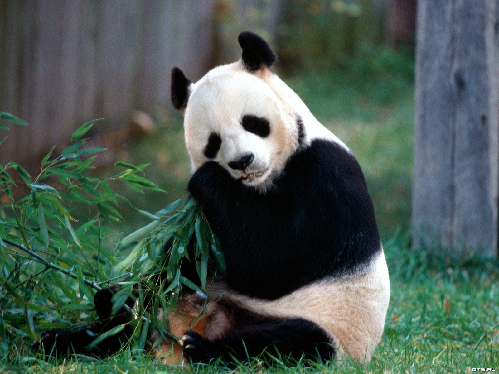 Cute Baby Panda Desktop Wallpapers 3d wallpapers 1600x1200