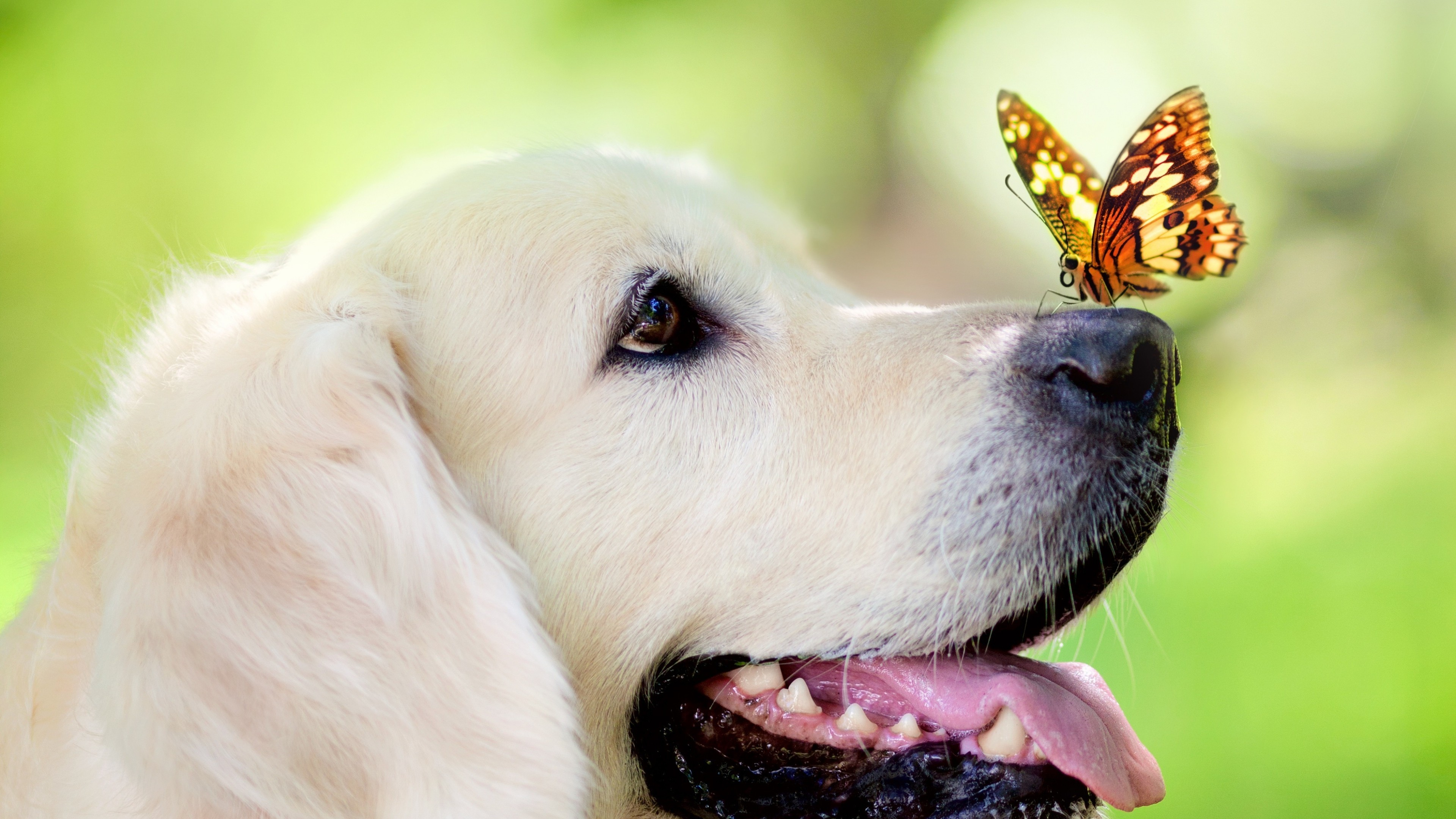 Funny Animal Wallpapers for Download with Labrador Dog and 3840x2160
