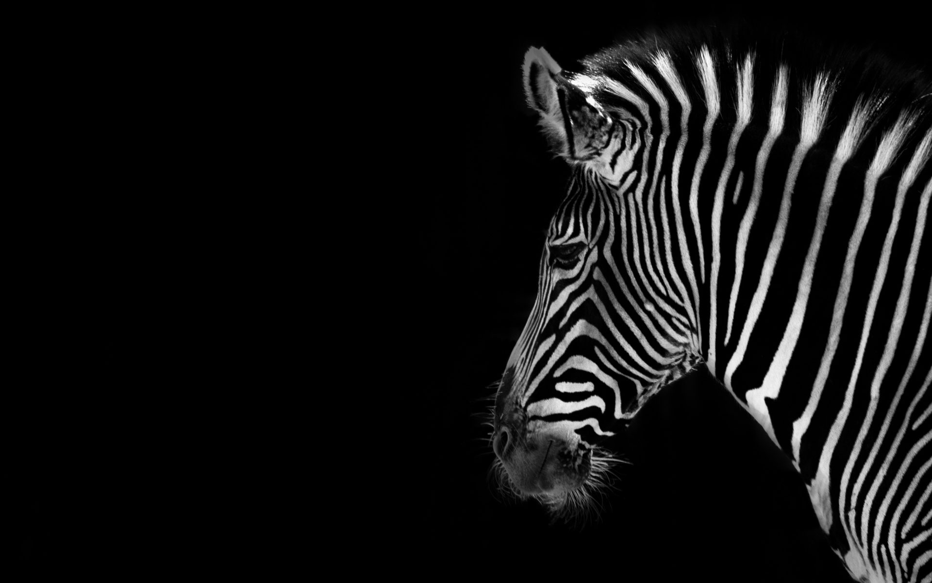 Black And White Animal Wallpaper Download Clip Art 1920x1200