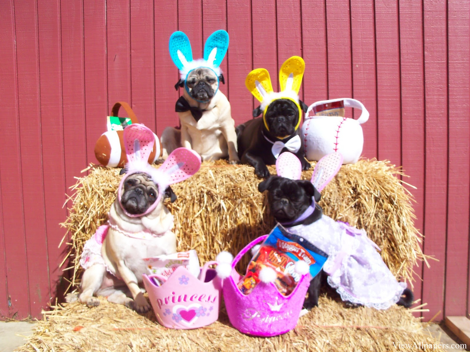 Easter Pug Dogs High Resolution Wallpaper download Easter Pug 1600x1200