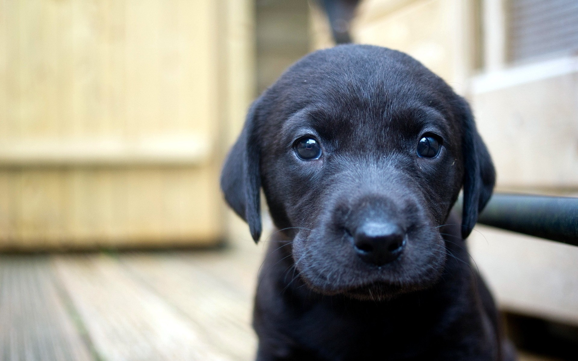Black labrador puppy images for desktop and wallpaper   Picture for 1920x1200