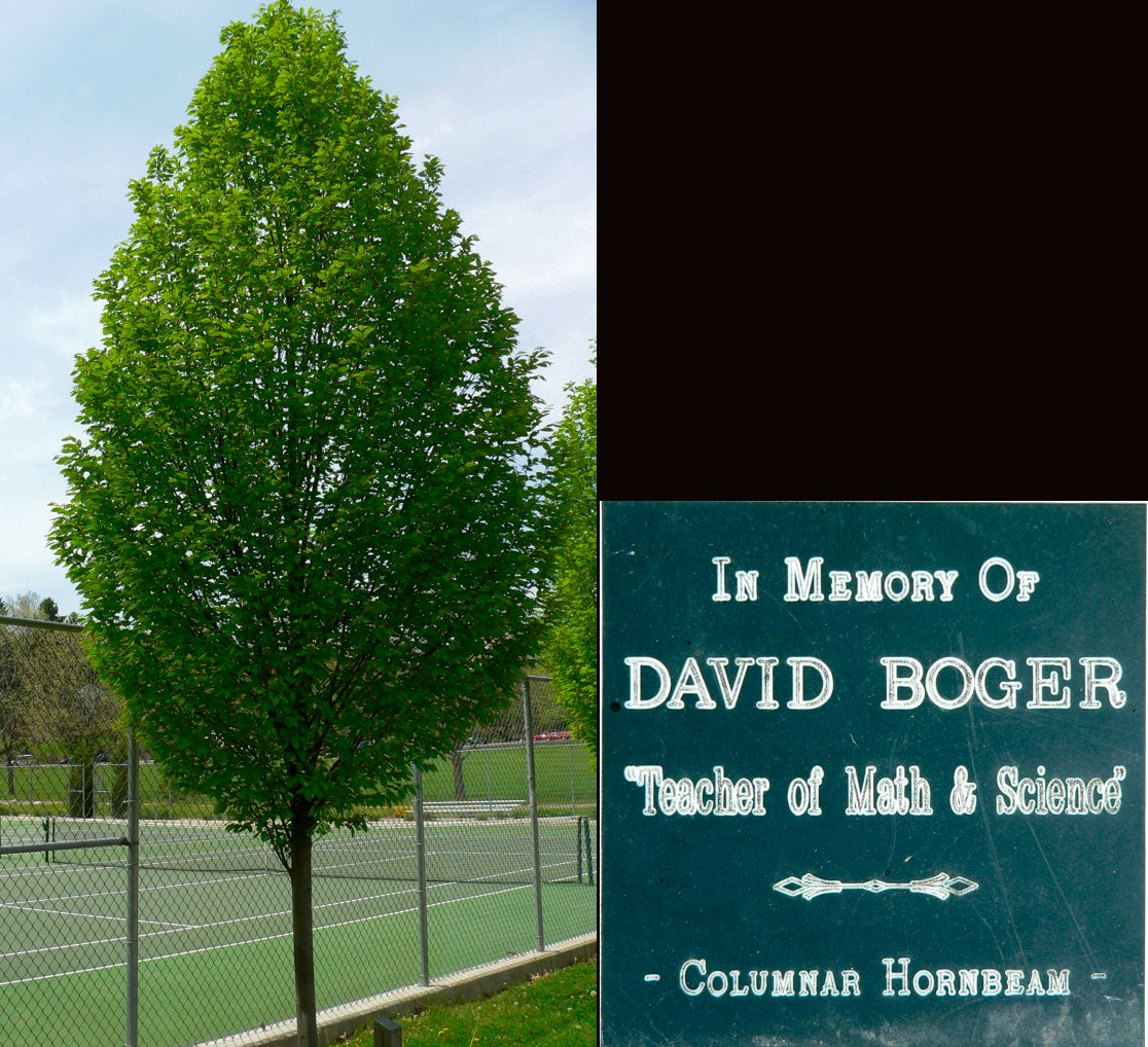 The tree planted in Dads memory in Rising Park The plaque reads In 1116x1018