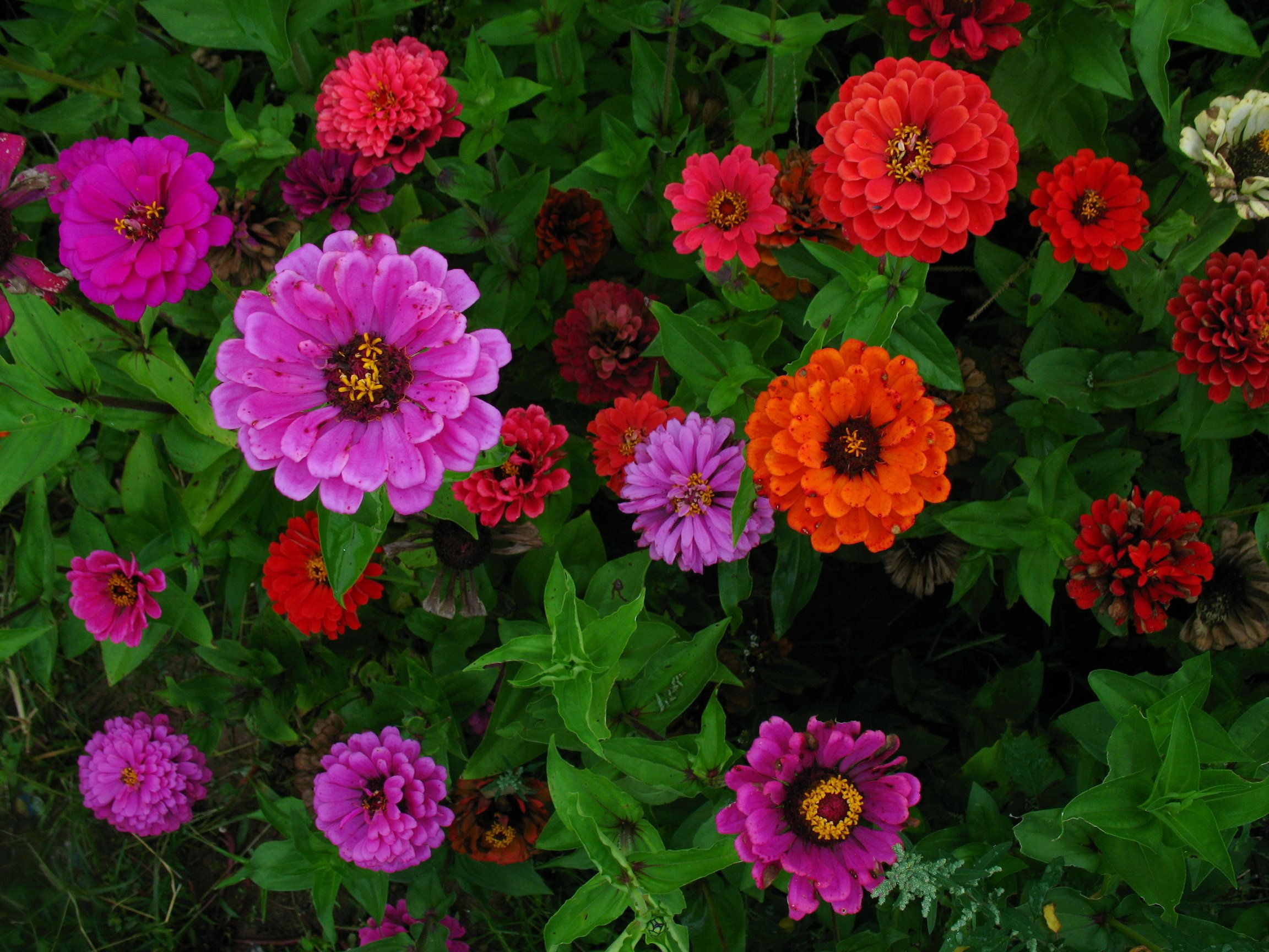 Nature   Flowers Garden flowers zinnia Ciniya at their summer 2304x1728