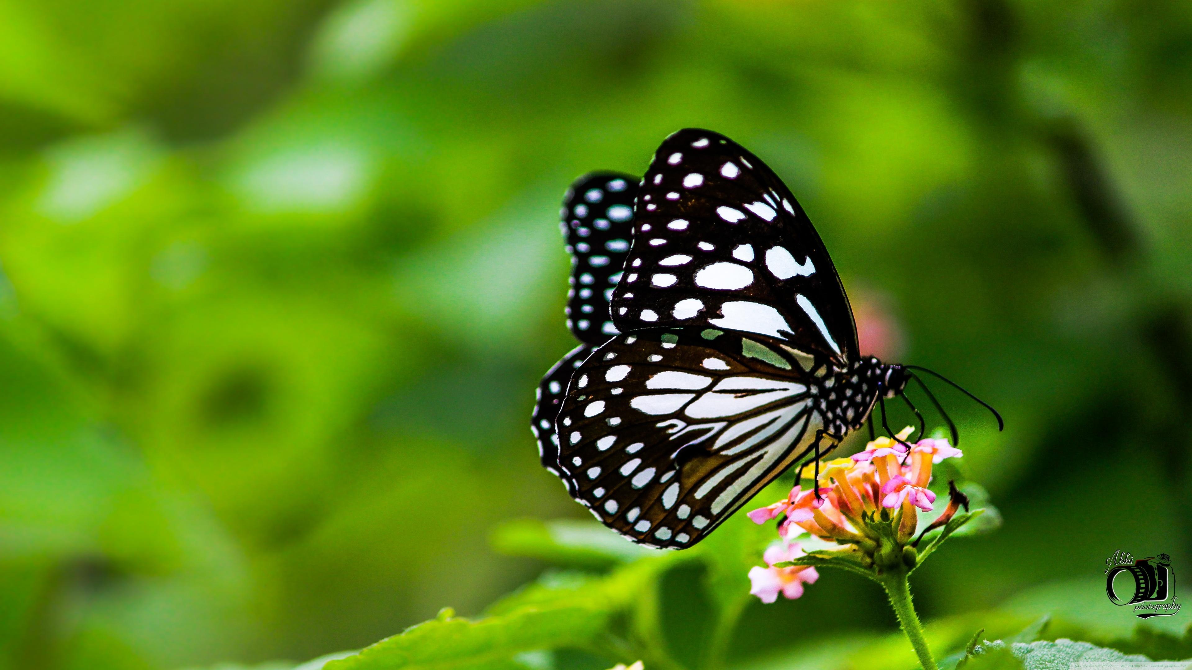 Free Download Butterfly 4k Hd Desktop Wallpaper For 4k Ultra Hd Tv Wide 3840x2160 For Your Desktop Mobile Tablet Explore 27 Butterfly 4k Wallpapers Butterfly 4k Wallpapers Butterfly Wallpaper Butterfly Backgrounds