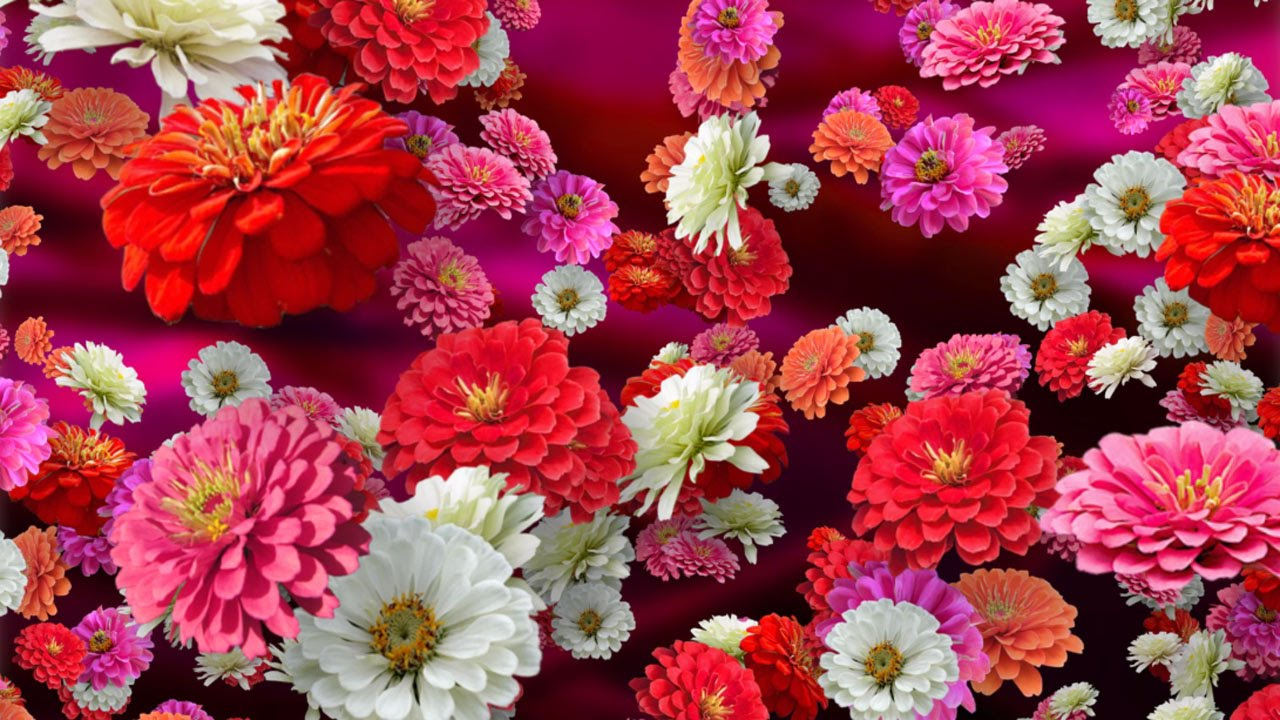 Colorful Zinnia Background for Videos   Stock Footage by zfootage 1280x720