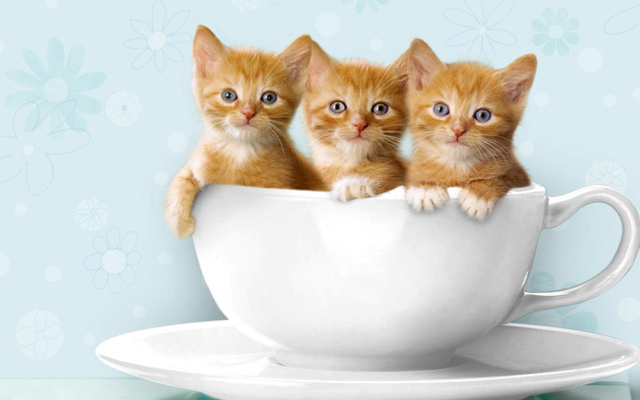 Cute Kittens   Kittens Wallpaper 16123995 1280x800